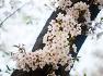 여의도벚꽃, 코로나19, 밤풍경과 벚꽃, 2019년 4월벚꽃과 밤풍경, 벚꽃, 여의도한강공원, 국회의사당뒷길,