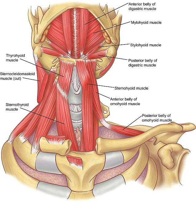 Sternocleidomastoideus                                   Suprahyoid Muscles