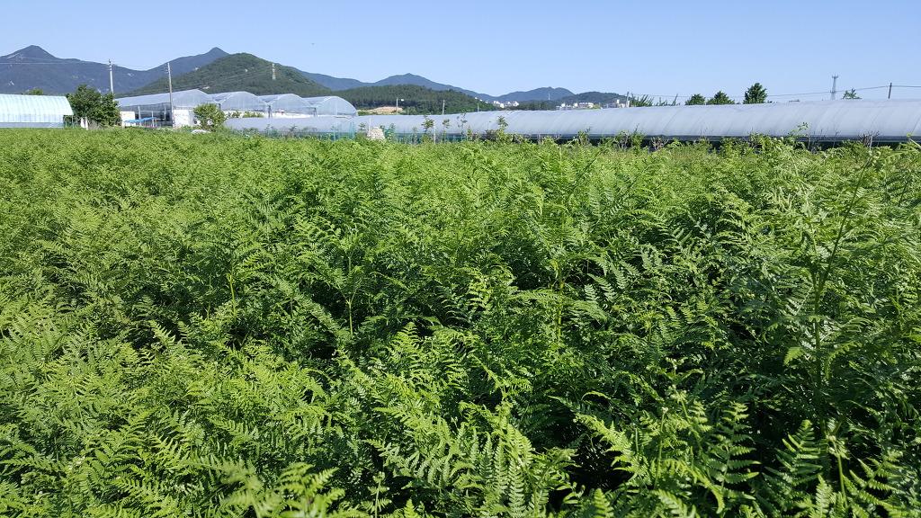 고사리재배 고사리뿌리판매 고사리종묘분양(추천)