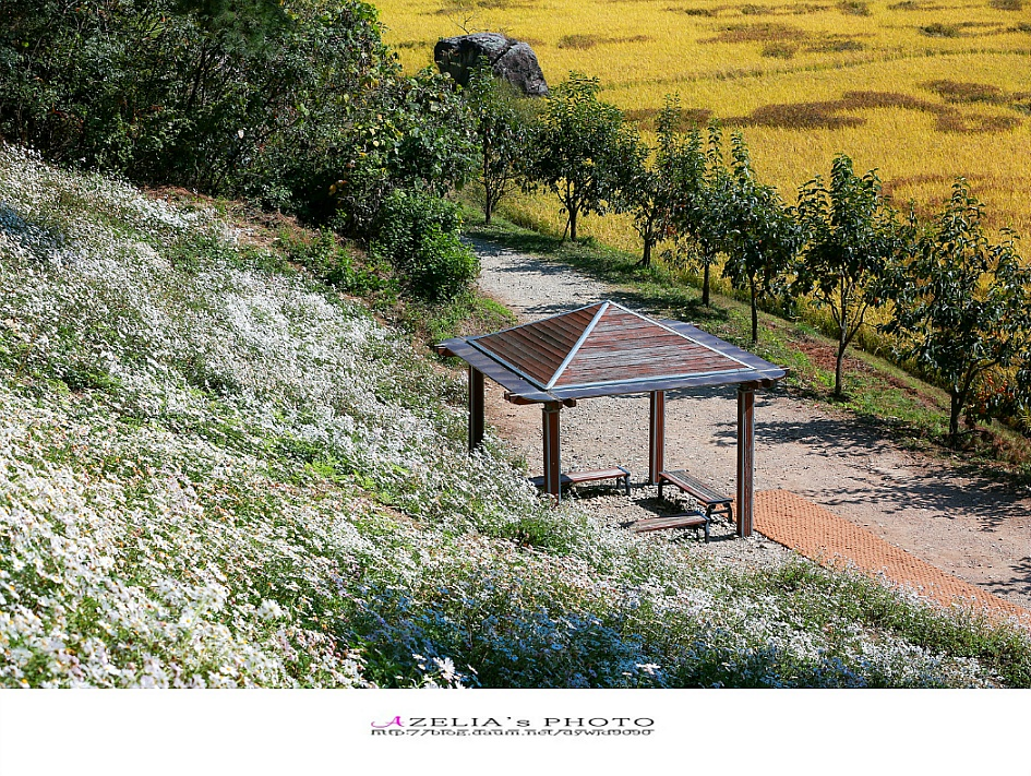 전북정읍여행/선선한 가을바람 따라가는 10월 나들이 명소-2019 제14회 정읍 구절초 꽃 축제 【19년10월16일】