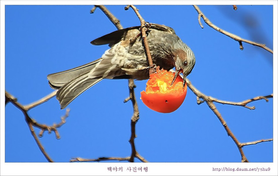 감나무 홍시에 맛드린 박새와 직박구리